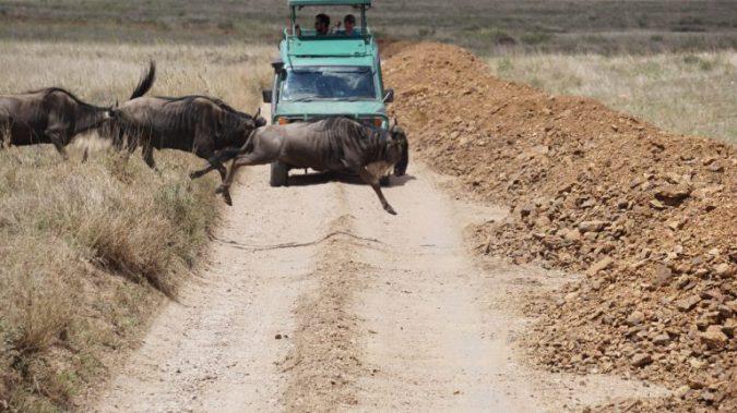 Serengeti - gnu