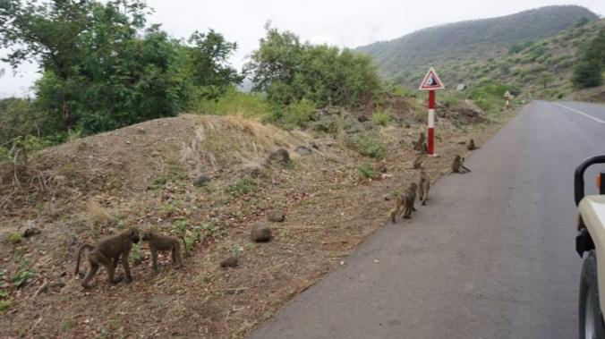ngorongoro - monkeys
