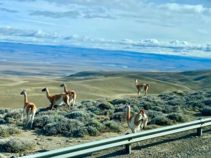 Patagonia -guanaco