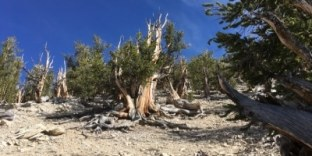 Bristlecone Pine White Mountains