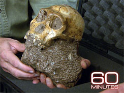 A fossil skull of the newly announced species Australopithecus sediba courtesy 60 MINUTES / CBS Television Network