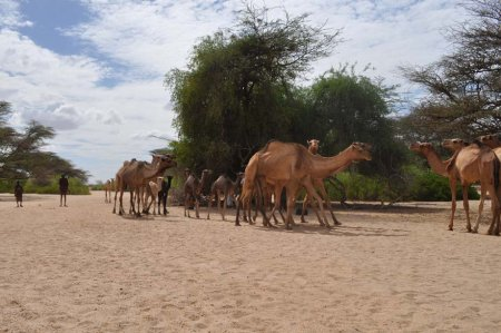 A second group of camels arrives and joins with the first.