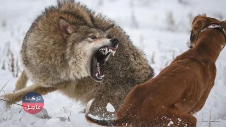 الذئاب الجائعة تهاجم ولاية أرزنجان وتأكل كلب حراسة بعد أن قطعته إلى أشلاء (شاهد بالفيديو)