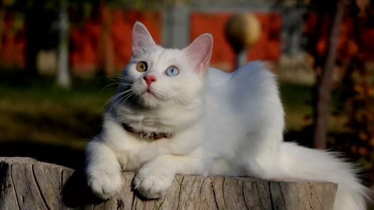 Turc de Van chat .. un guide complet