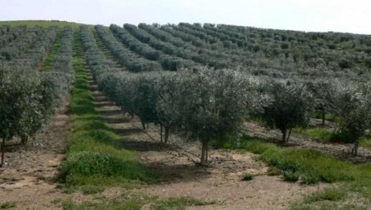 زراعة الزيتون في تركيا
