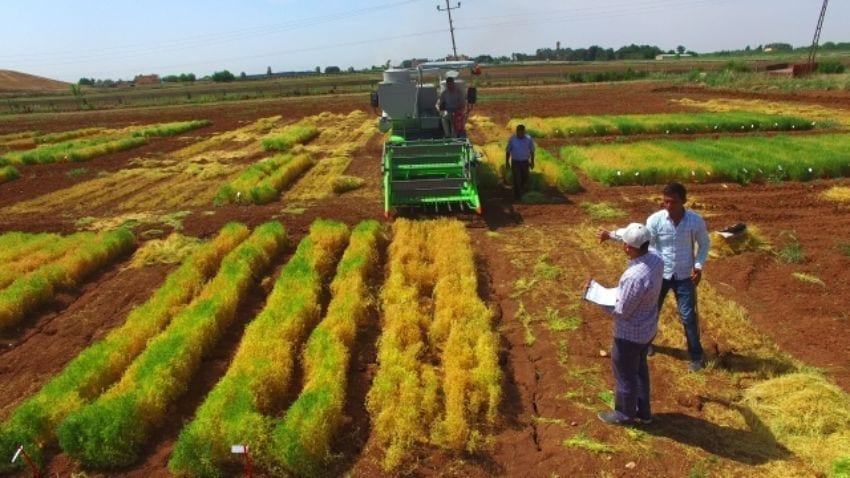 Lentil cultivation in Turkey