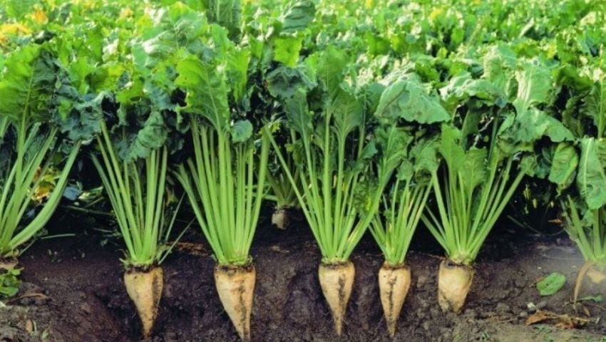Growing sugar beet in Turkey