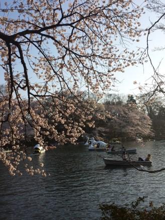 Blossoms at Inokashira Park in Kichijoji, Japan.