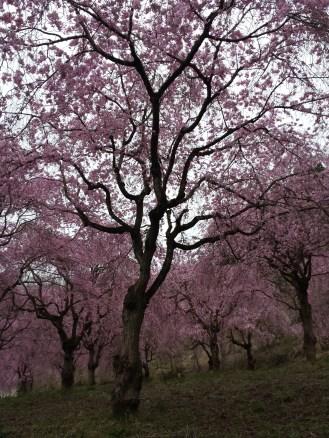 Blossoms at Tokyo Summerland in Akiruno, Tokyo.