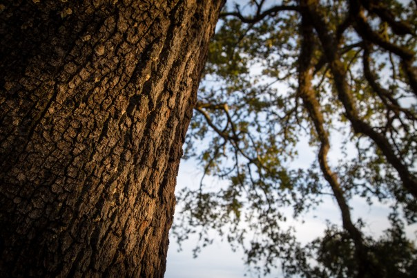 Sunrise on a Live Oak
