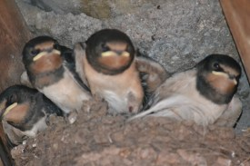 The swifts we watched grow and fledge
