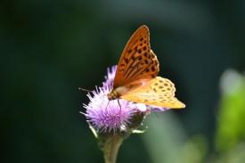 Butterfly at Cascade Pennafort