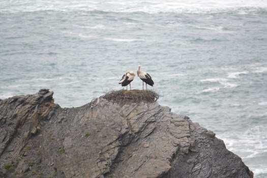 Storks nesting at the Historic Fishing port near Zumbejeira