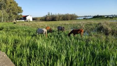 Horses grazing in the water at El Rocio