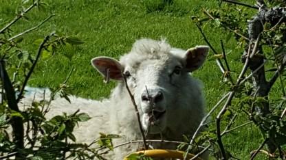 Sheep on Stoddards Lane