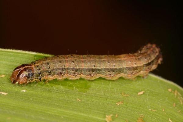 Résultats de recherche d'images pour «: KZN in Control of Fall Army Worm»