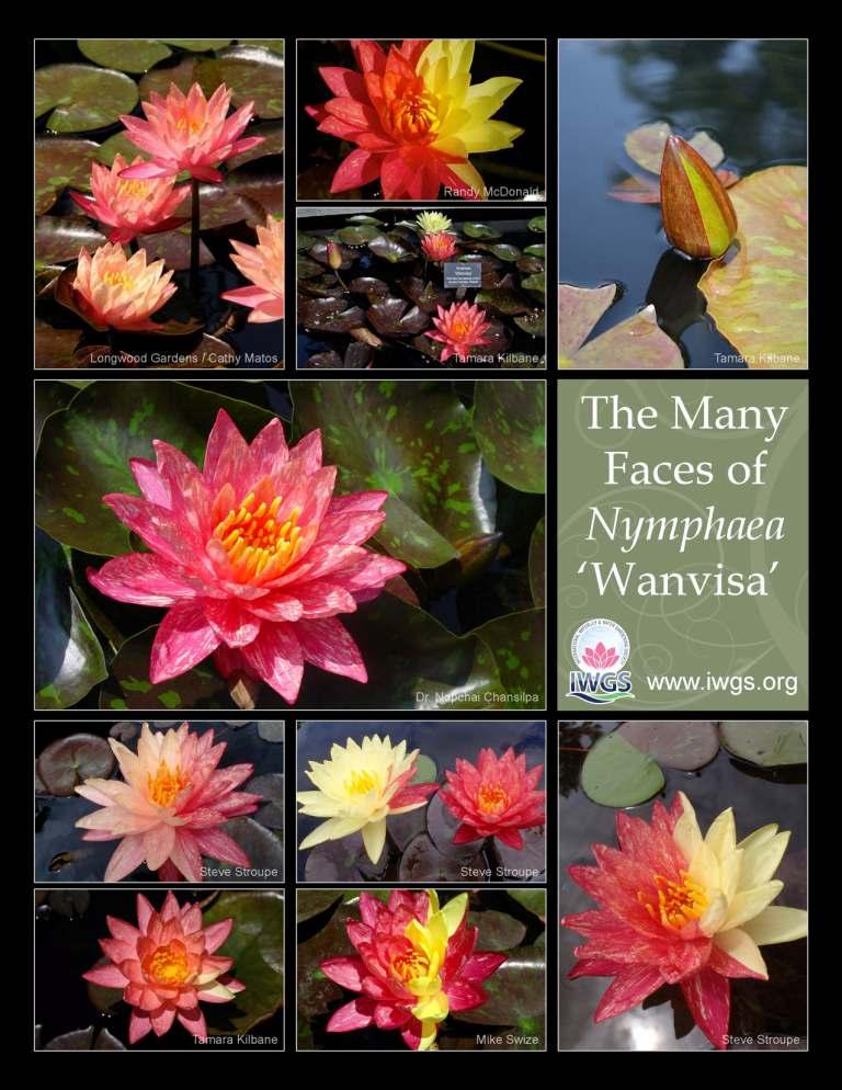 Pond Lily Plants Sale