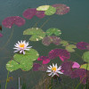 Stunning Hardy Blue Water Lilies For Sale! - Turtle Island ...