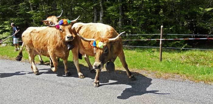 Vacas engalanadas en la Fiesta de la Trashumancia en Col de Bonnecomb