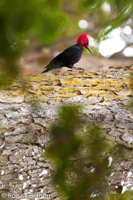 El Carpintero de Magallanes es posible avistarlo en el Parque Etnobotánico Omora si caminas en silencio y con algo de suerte. No suele huir del ser humano