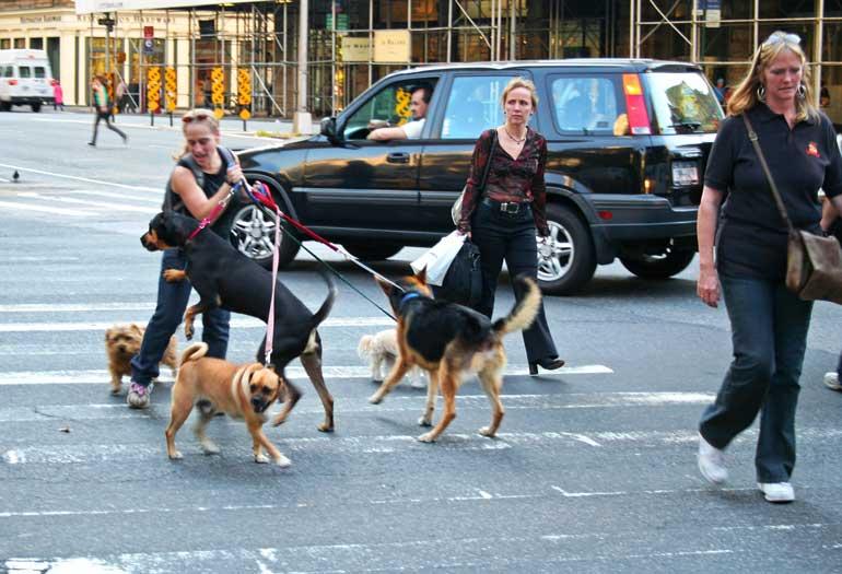 """La profesión de """"paseador de perros"""" es muy común en NY;"""