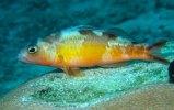 Tobaccofish (2)