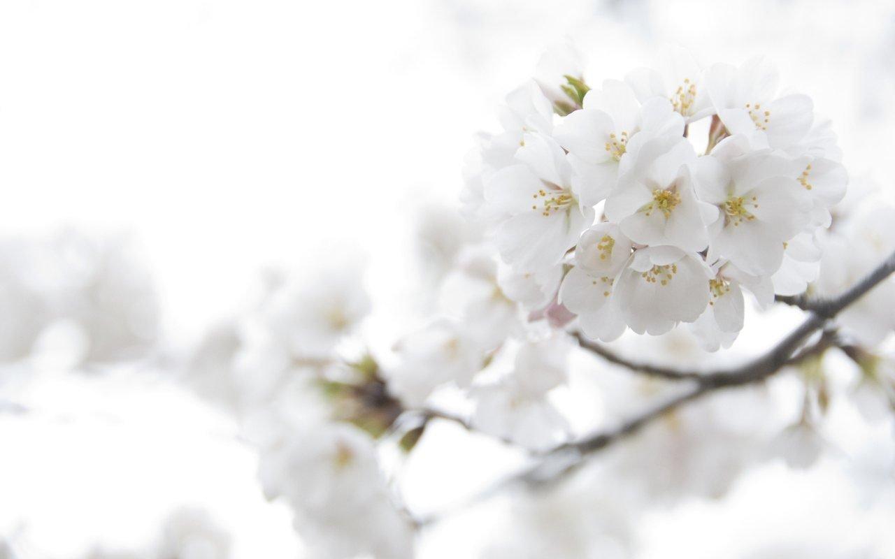 Imgenes de flores blancas  Imgenes