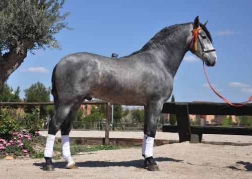 Imgenes de caballos espaoles  Imgenes