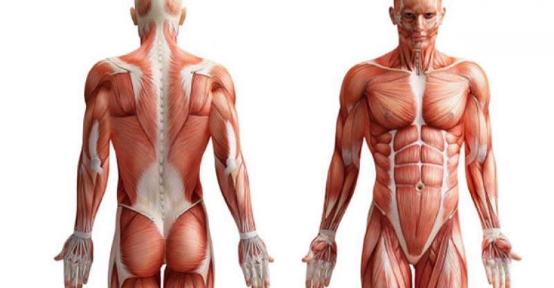 Músculos del cuerpo | PEDRO CHOURIO - EDUCACIÓN FÍSICA Y DEPORTES
