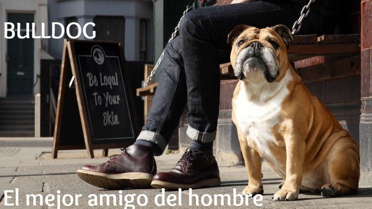 bulldog cuidado barba