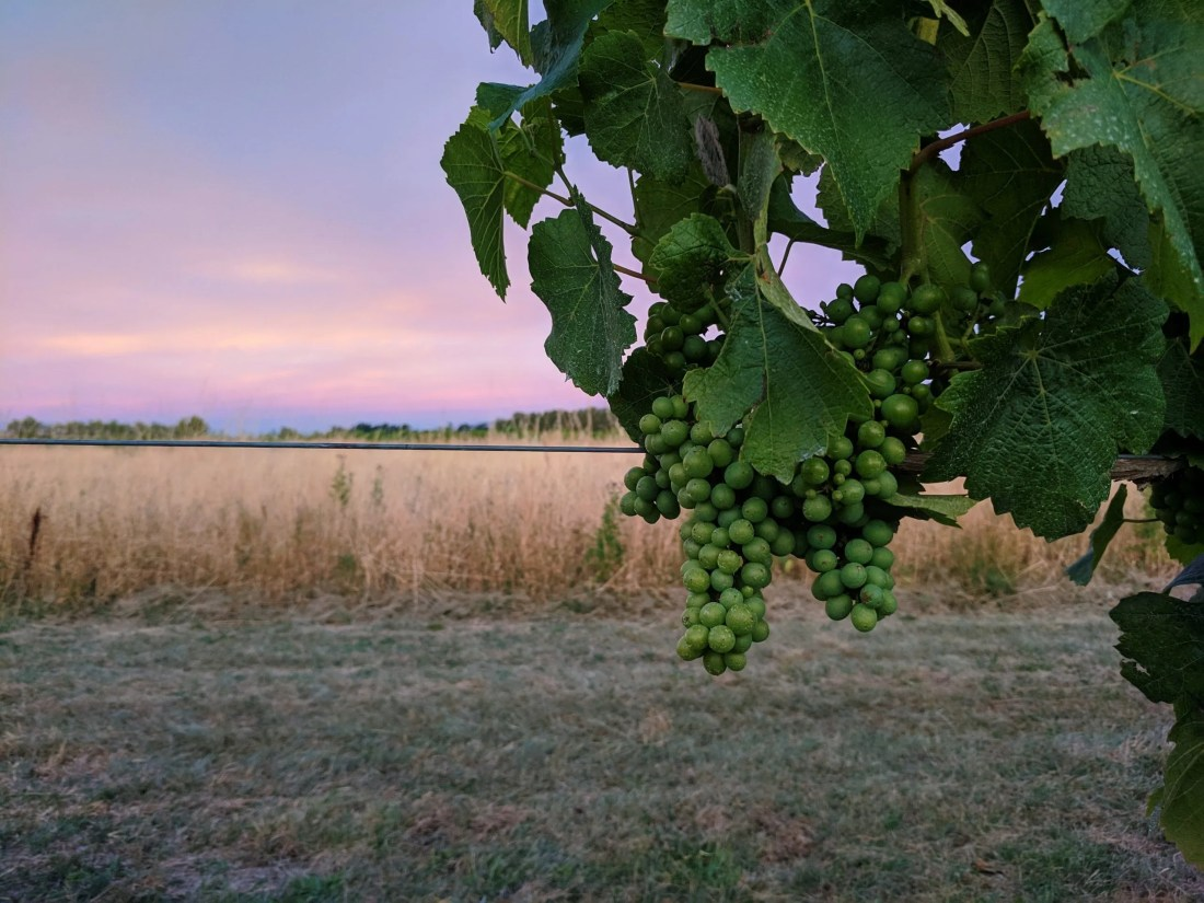 Tussock Hill's North Canterbury Vineyard with unripe grapes in the foreground and sunset in the background