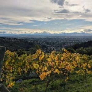 Autumn leaves in the vineyard