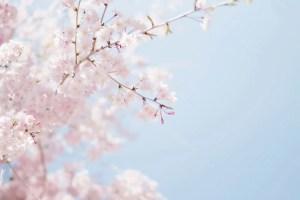 Spring Special Cherry Blossom Facial: Affordable facial & cheap massage in Washington DC