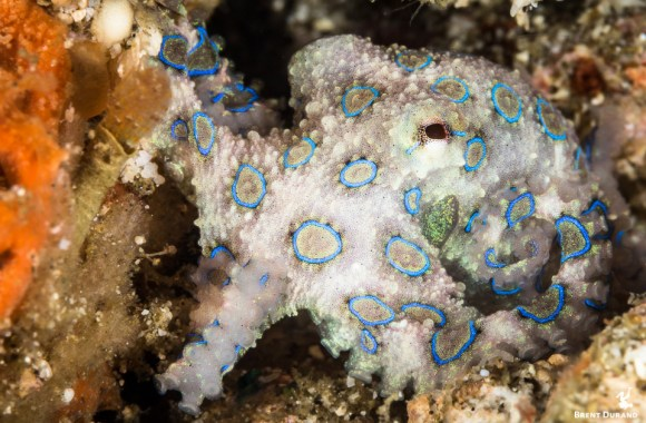 blue-ringed-octopus-facts