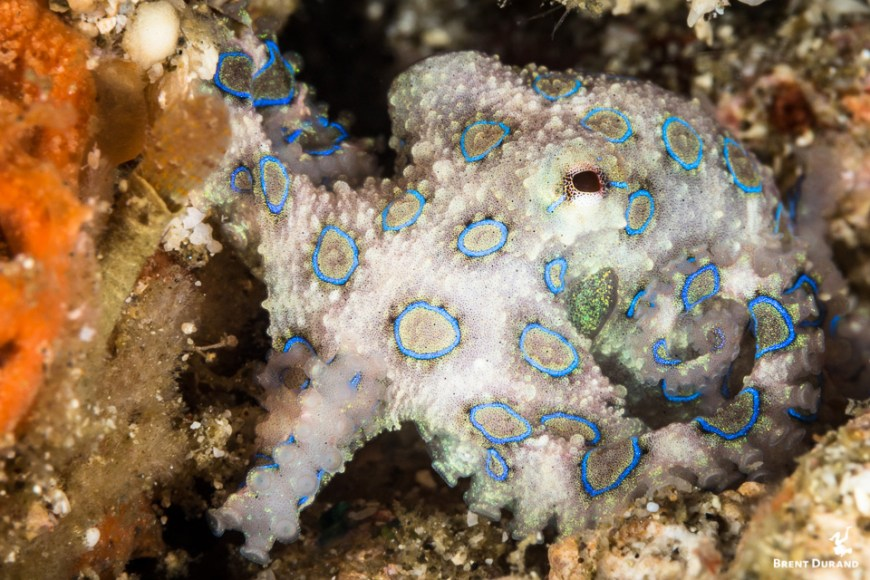 blue ringed octopus facts and info