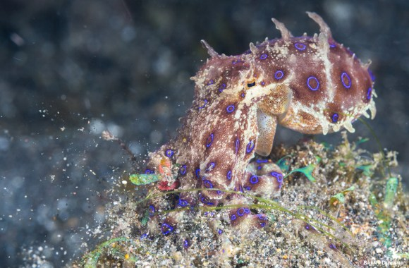 blue-ringed-octopus-hunting-manado-indonesia