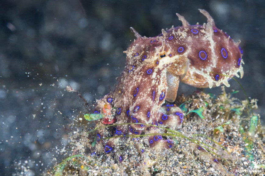 blue ringed octopus hunting in manado indonesia