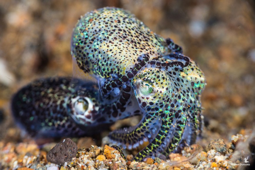 bobtail squid mating behavior