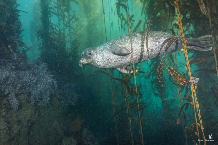 harbor seal underwater in a kelp forest of malibu california