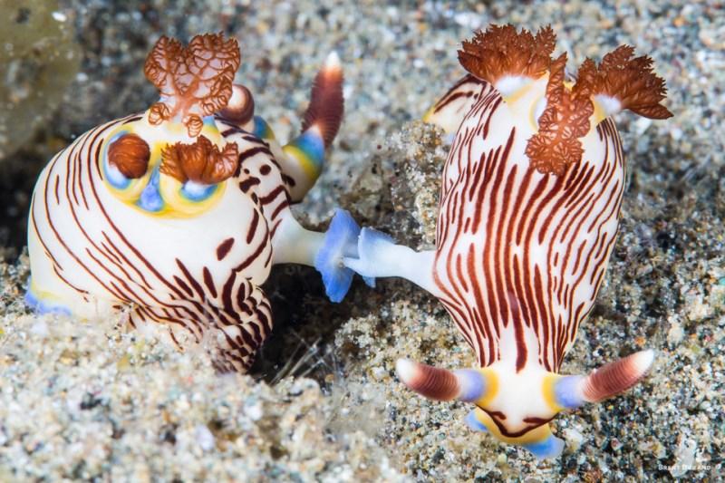 nudibranchs mating