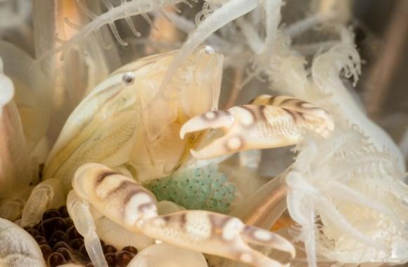 porcelain-crab-eggs-anilao-philippines