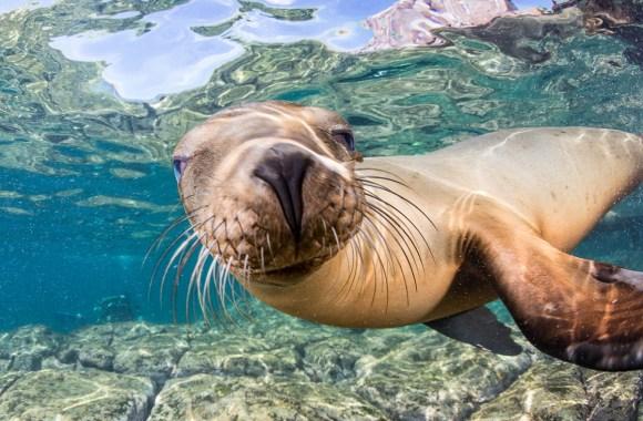 sea lion underwater at los islotes colony