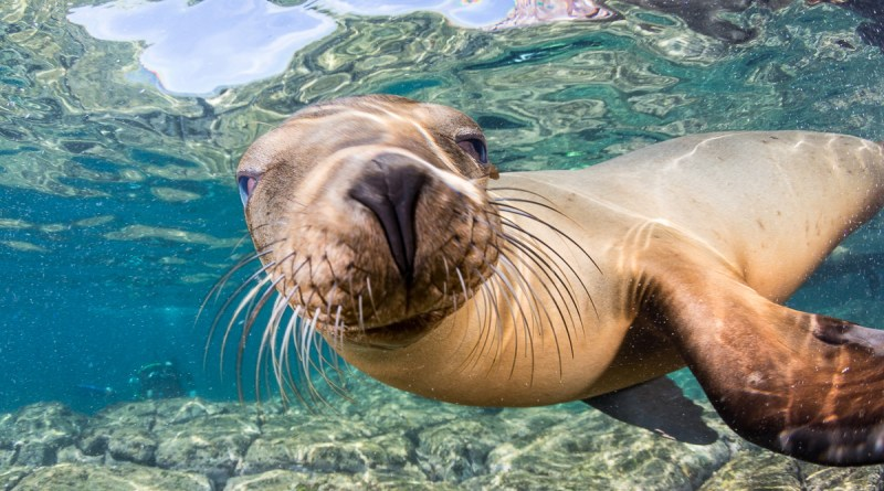 sea lion underwater at los islotes colony