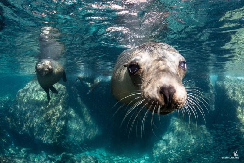 sea lion portrait at los islotes in la paz