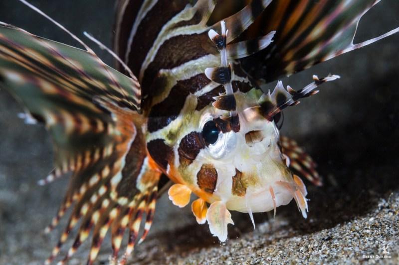 underwater portrait lionfish juvenile