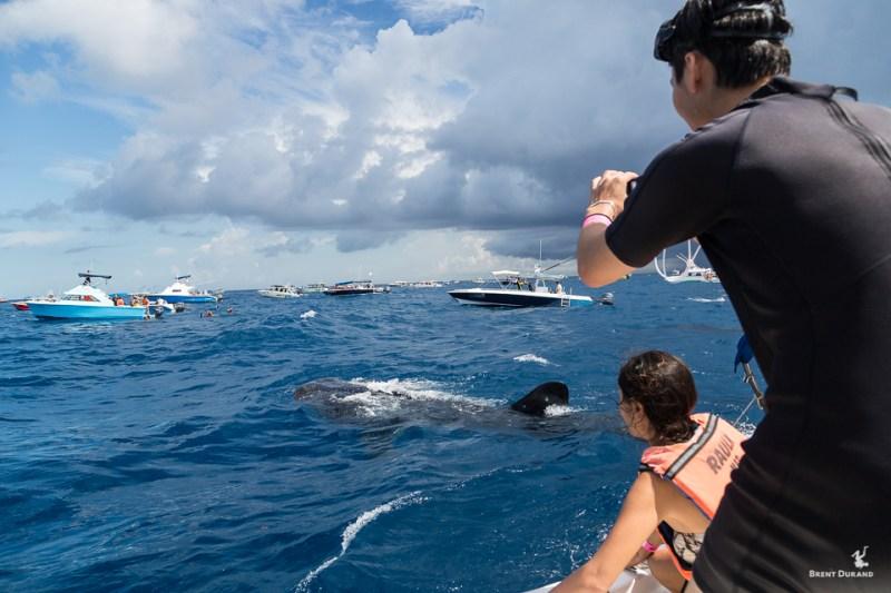 whale shark snorkeling isla mujeres mexico