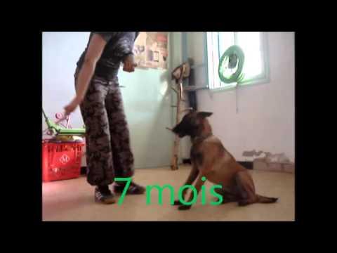 dressage de chien Tunisie les étapes que doit passer un chien de sécurité