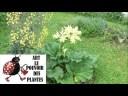 Tuto jardin: Semis de rhubarbe comment faire un semis: Plante vivace