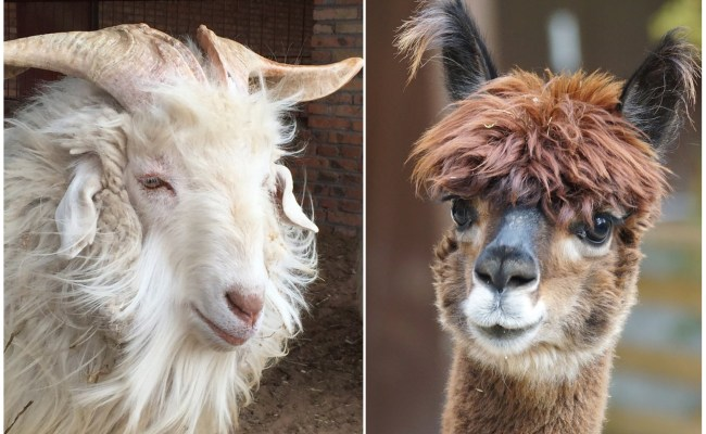 Baby Alpaca How Does It Compare With Cashmere Tuwi London