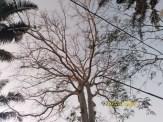 Pohon Randu